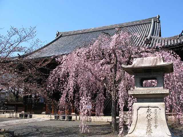 立本寺 - 枝垂桜