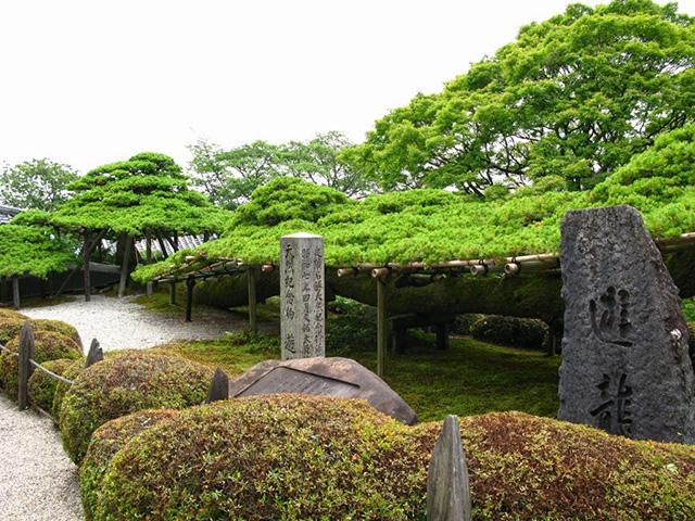 善峯寺 - 遊龍の松