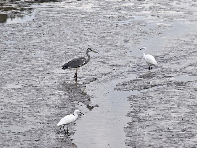 広沢池 - 水鳥