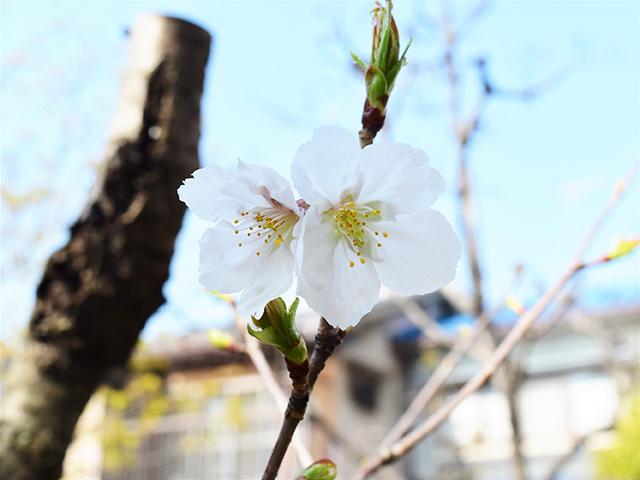 墨染寺 - 墨染桜2