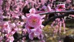 城南宮の「しだれ梅と椿まつり」EC
