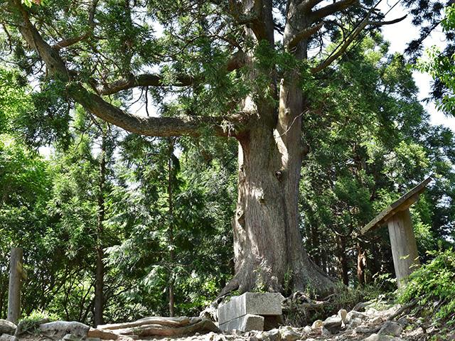 玉体杉(京都一周トレイル)