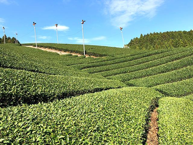 茶農喜左衛門 茶畑