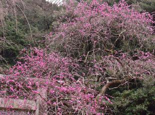大豊神社で風格あるしだれ梅を楽しむ