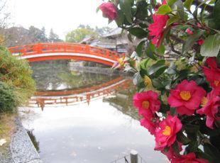 神泉苑の山茶花と、願いが叶う橋