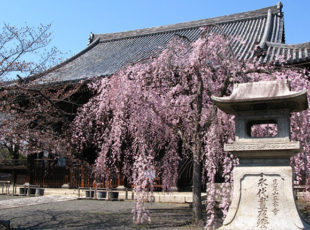 隠れた桜名所の立本寺