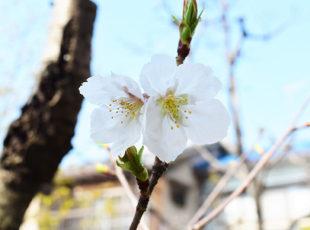桜の隠れた名所「墨染寺(ぼくせんじ)」