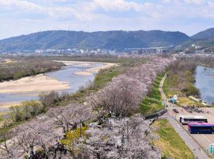 圧巻の桜並木! 背割堤の「さくらまつり」