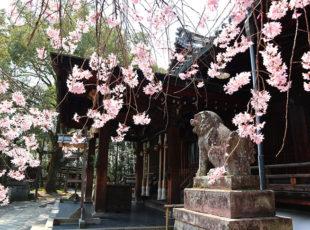 桜に包まれる向日神社を訪ねる
